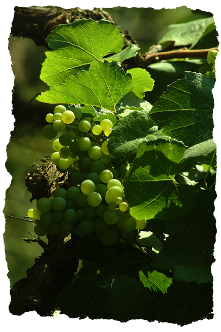 Organic Grapes | Natural Wine | Natura