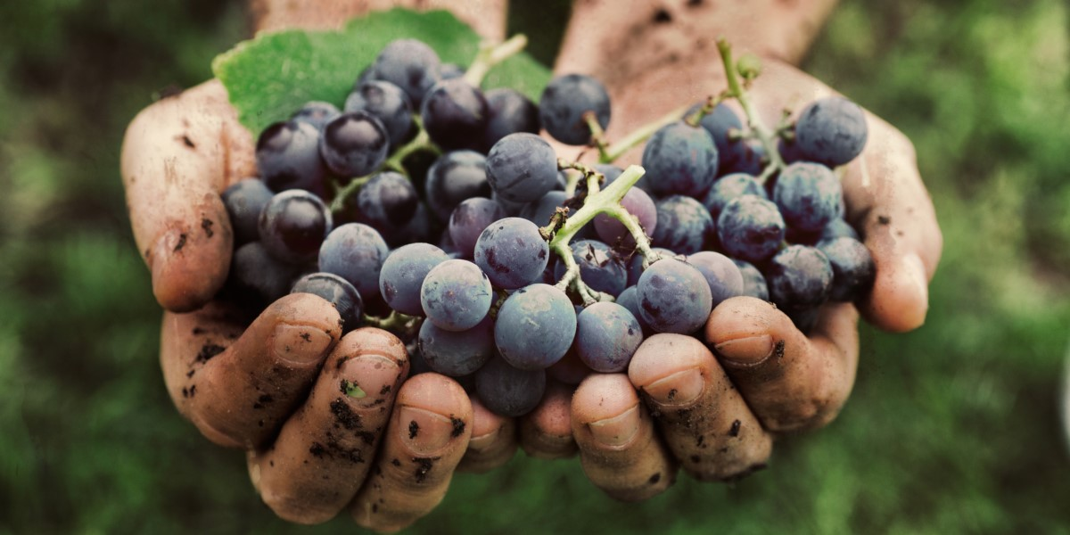Organically Grown Grapes | Organic Wine Brands | Natura Wines
