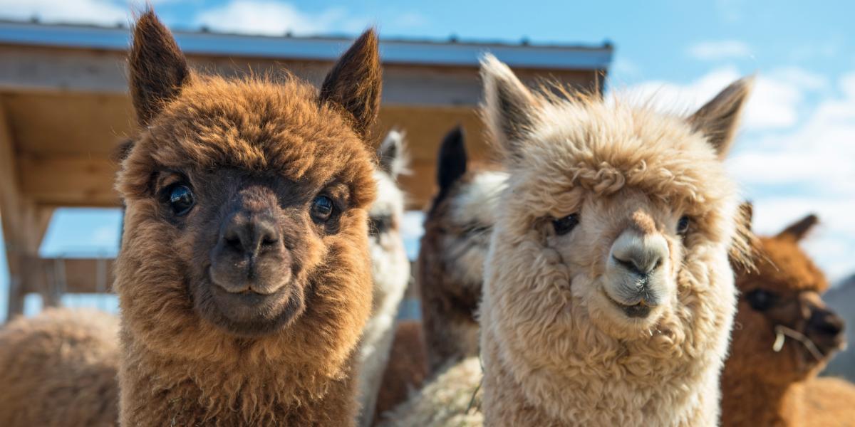 Alpacas and Wine | Emiliana Organic Vineyards | Natura Wines of Chile