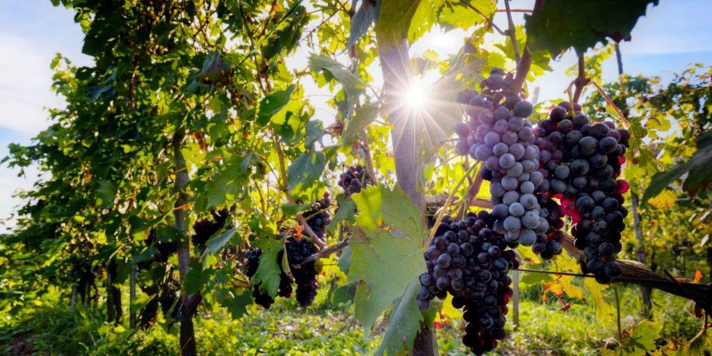 Chilean Merlot Brands | Merlot Grapes | Natura Wines