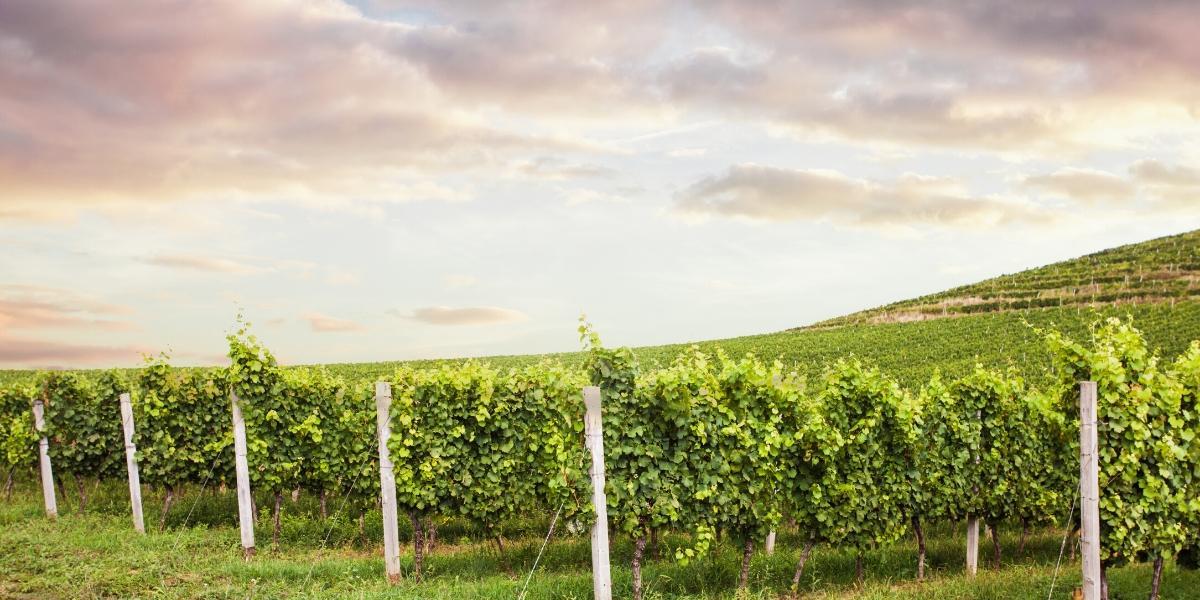 Natural wine brands vineyard